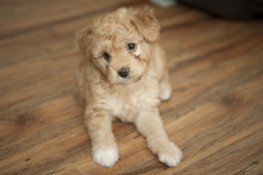 The gallery for --> Teacup Puppies For Free 2014