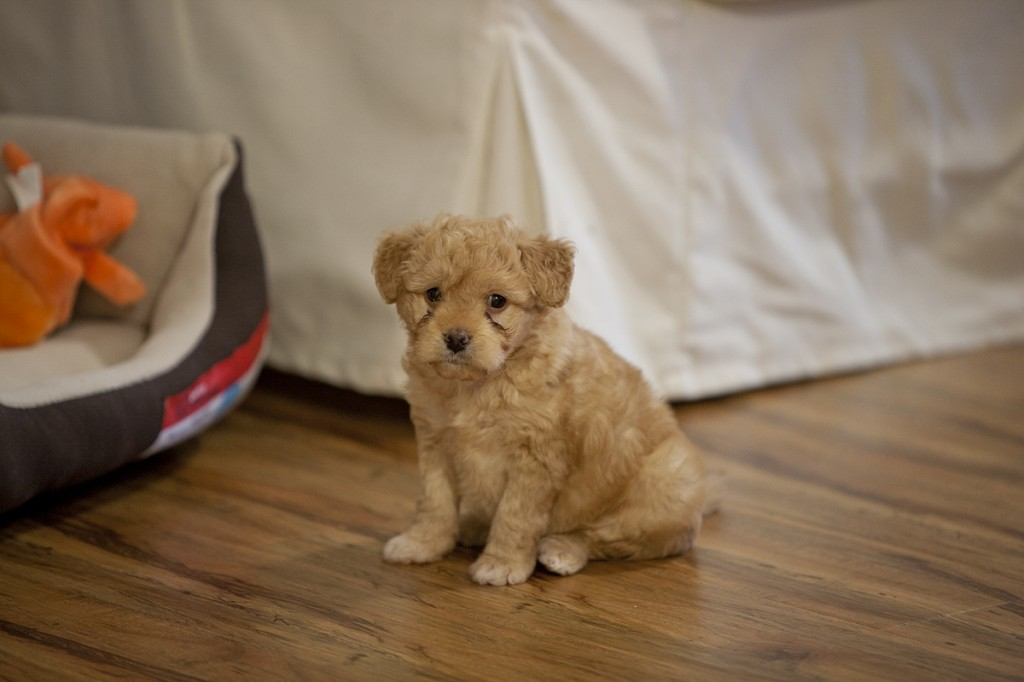 Lucy Bear - Miniature Goldendoodle