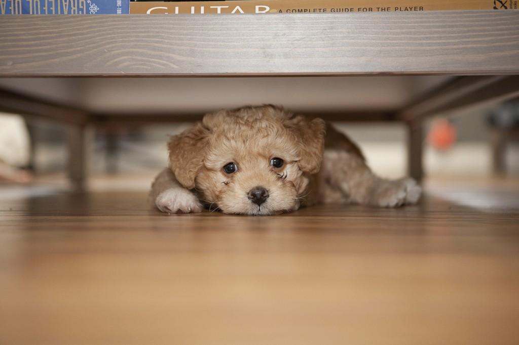 Lucy Bear - Miniature Goldendoodle
